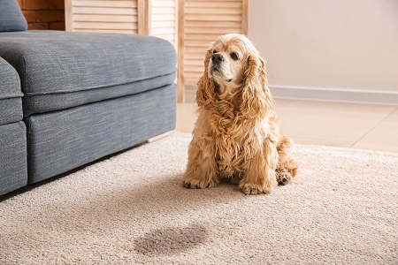 cute dog with puddle on carpet