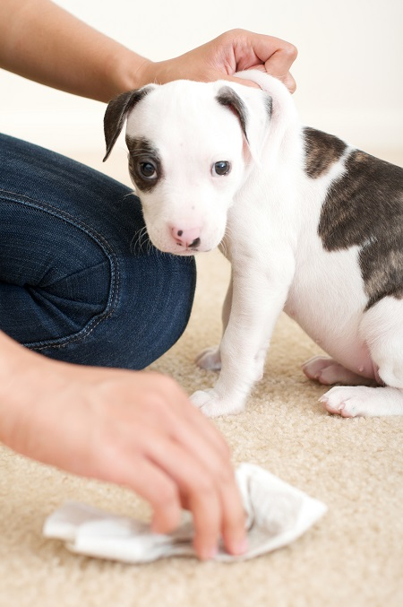 Puppy With Spot On Carpet